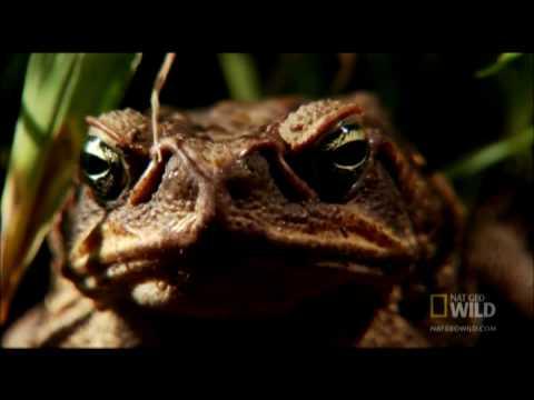 Venomous Cane Toads