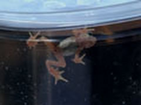 Extinct Toad Thrives in Lab