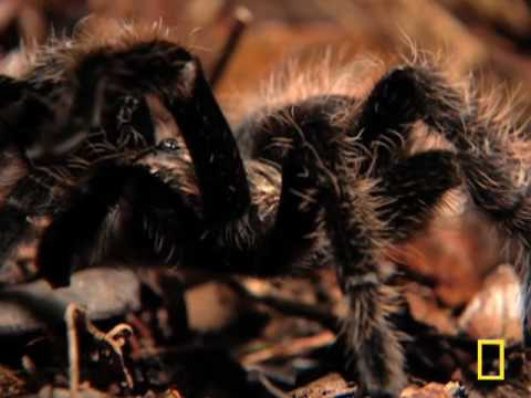 Largest Spider in the World - GIANT Tarantula