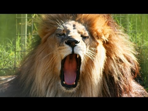 Do LIONS cough up Hairballs?