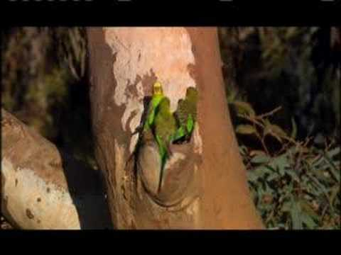 NATURE | Parrots in the Land of Oz | Budgie Mating  | PBS