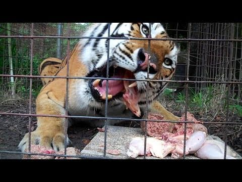 Feeding 100+ Tigers, Lions, Leopards...