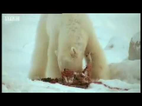 Pregnant Polar Bear hunts seals - BBC Animals