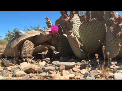 Desert Tortoise Release