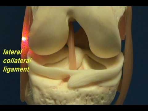 Knee Joint Model - Cruciate Ligaments & Mensici