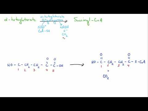 Introduction to Biology - 12 - TCA / Citric Acid / Krebs Cycle