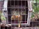 Savannah Rescue Serval/Cat- Big Cat TV