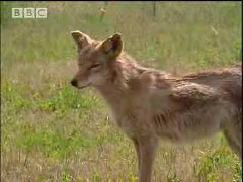 Sterilisation of coyotes - BBC wildlife