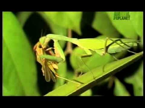 Killer Clips- Praying Mantis Crunches On Cricket