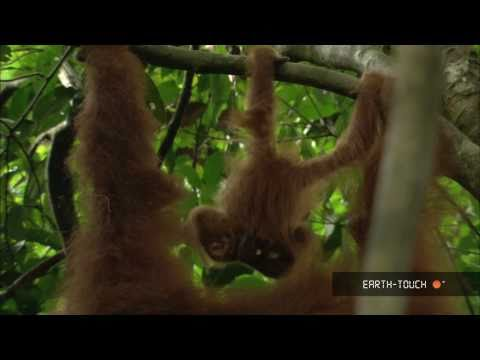 Baby orangutans & the earth's fastest antelopes