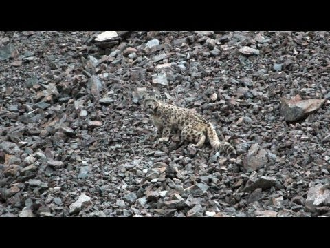 Snow Leopards Tagged in Afghanistan — A First