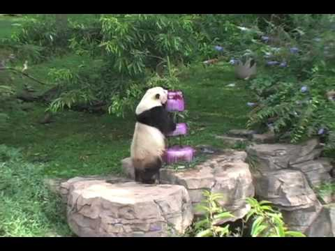 Tai Shan's Fourth Birthday