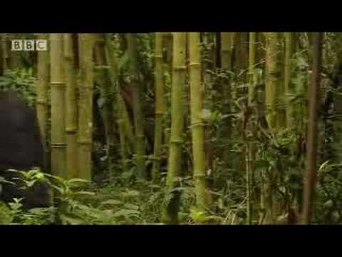Silverback Mountain Gorilla poaching stories - Apes in Danger - BBC wildlife
