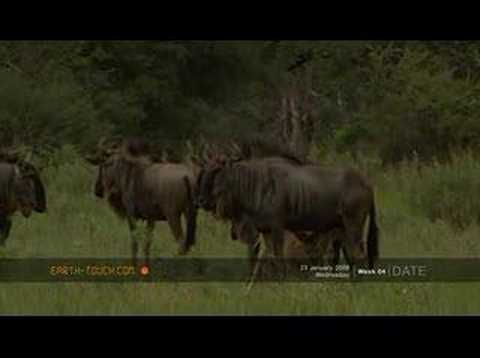 Wildebeest calves and impala lambs in the Okavango