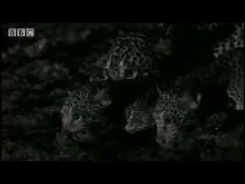 Cute wild cat cubs play at night - Jaguar - BBC Animals