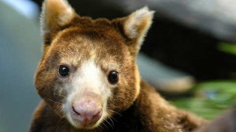 Tree Kangaroo Conservation Interview