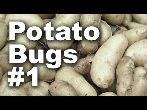 Potato Bug Invasion Part 1