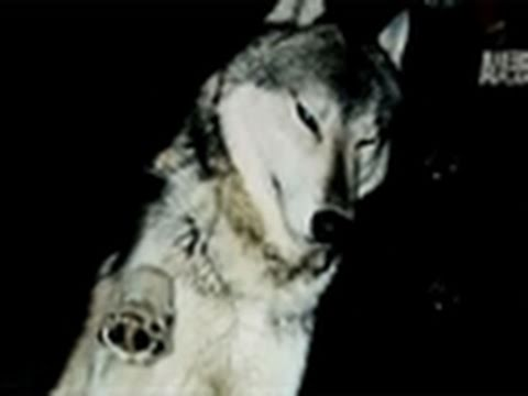 Fatal Attractions- Wolf Dogs Kill Owner