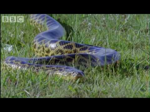 Attenborough - Anaconda gives birth underwater - BBC wildlife