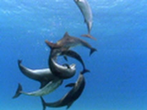 Bottlenose Dolphin Gang Rumble