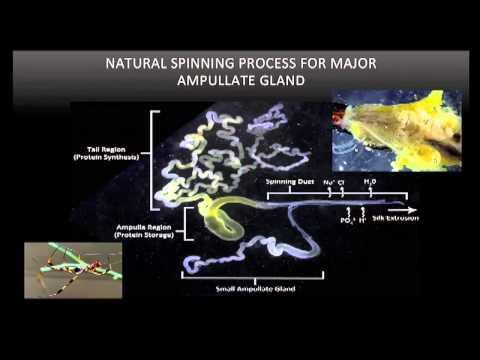 TEDxSanJoaquin - Craig Vierra - Spider Silk: A Next Generation Biomaterial