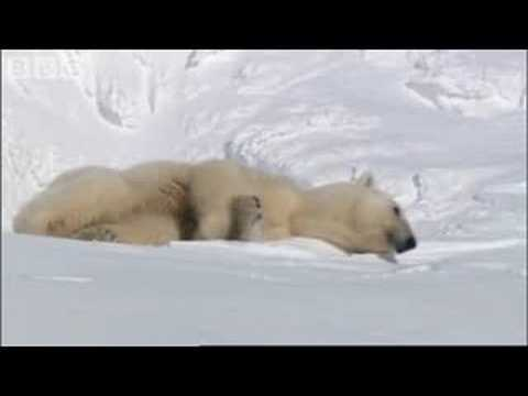 Mother Polar Bear and Cubs Emerging from Den - BBC Planet Earth