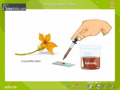 Simple Permanent Tissues