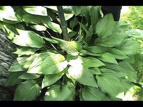 How to Transplant Hostas & Plants GardenFork.TV