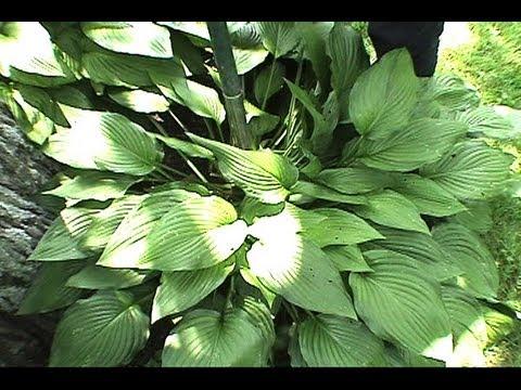 How to Transplant Hostas & Plants GardenFork.TV