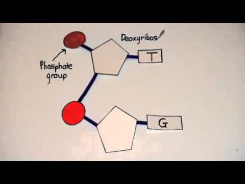 3.3.3 Outline how DNA Nucleotides are joined together to form a single strand