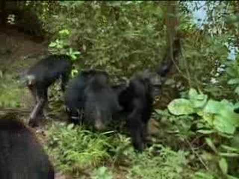 Chimpanzees in the wild fight over who's in charge of the jungle - BBC wildlife