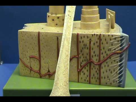 Bone Model - Orientation.avi