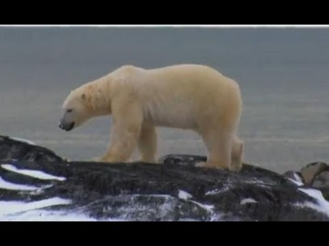Living Next to a Killer - Wild: Polar Bear Diary - BBC