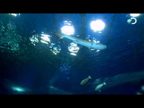 Swimming with Tiger Sharks | Beast Tracker