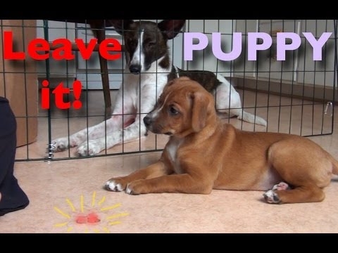 Puppy Leave It- Clicker Dog Training Tips