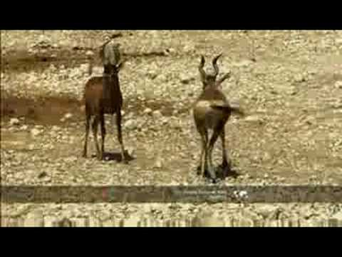 Hartebeest lock horns to tussle