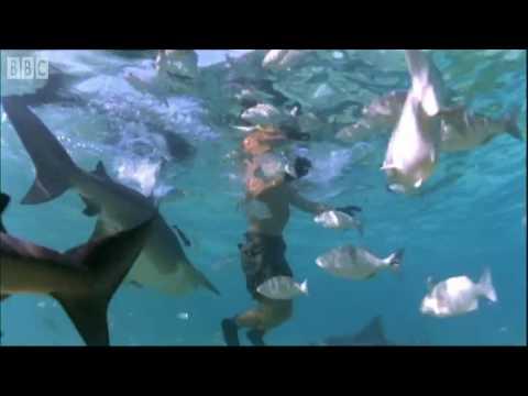 Bull Sharks - Smart Sharks - BBC Earth