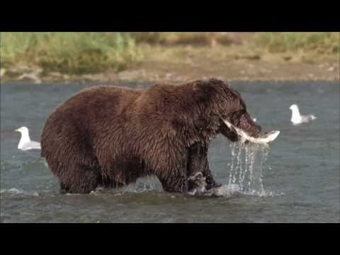 NATURE | Bears of the Last Frontier | Diving for Salmon | PBS