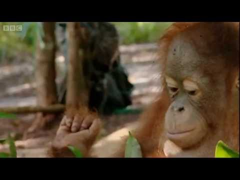 Annual holiday - Orangutan Diary - BBC