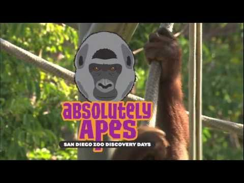 Absolutely Apes at the San Diego Zoo