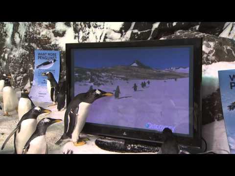 Penguins Enjoy VIP Screening of 'Frozen Planet'