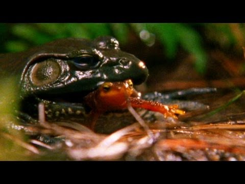 World's Weirdest - Swallowed Newt Escapes Death