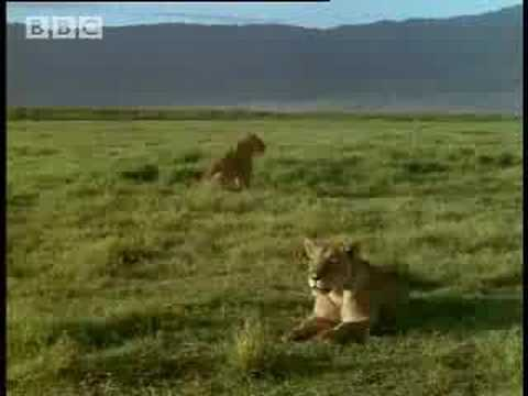 BBC: Lion Soap Opera - 5 Big Cats and a Camera