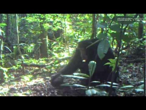The great ape program