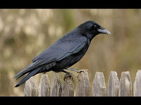 THE CROW - its Birdsong -  AV