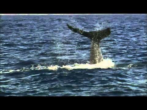 Nature | Fellowship of the Whales | Preview | PBS