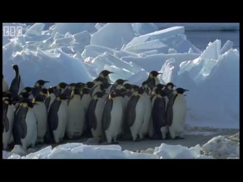 Emperor Penguins v Leopard Seal - Blue Planet - BBC Earth