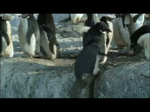 Penguin prostitution - Deep into the Wild - BBC