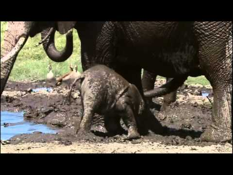 Baby Elephant: Spy in the Herd - BBC