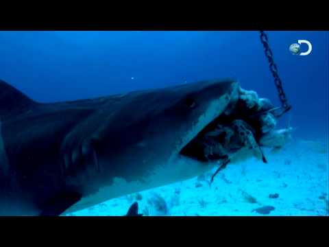 Shark Week - How Sharks Hunt | Battling a Tiger Shark